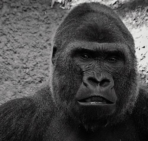 King Content als Gorilla